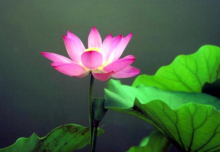 photography a beautiful pink lotus flower, Beautiful flower